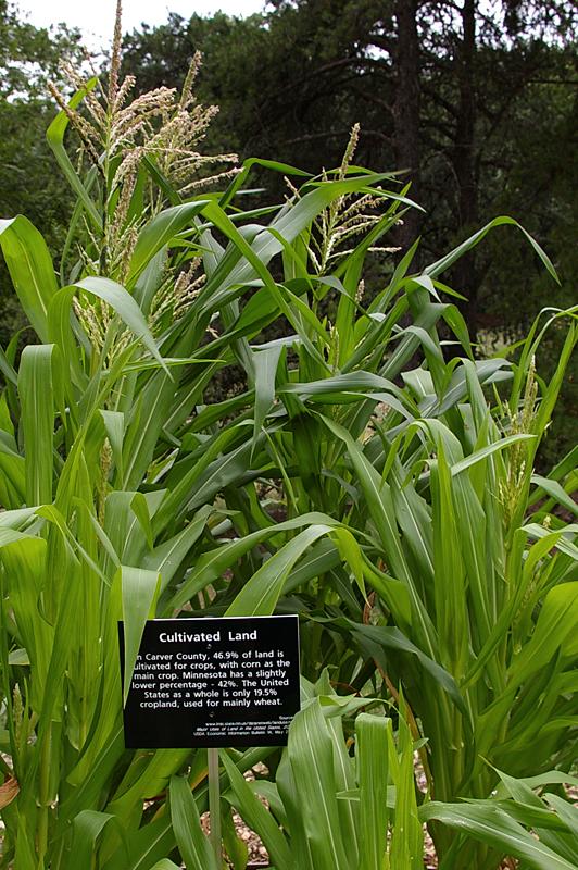 corn sm